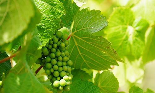 tasmanian wine grapes